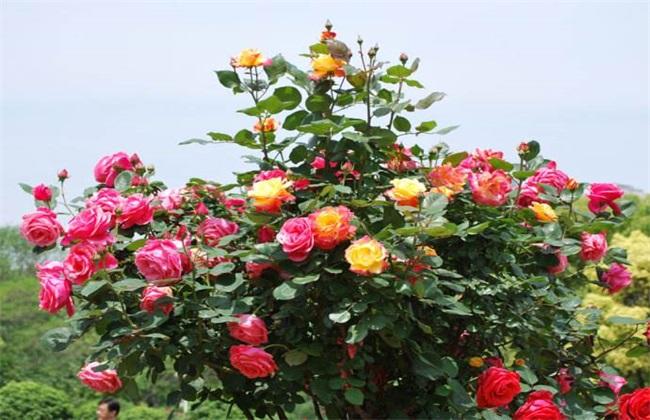 月季花 养殖 方法