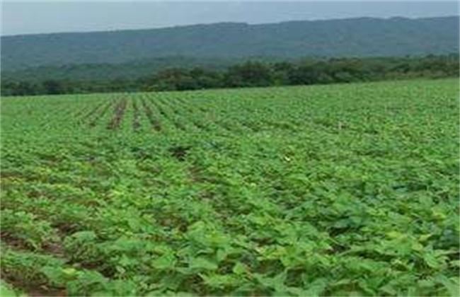大豆倒伏原因及防止方法