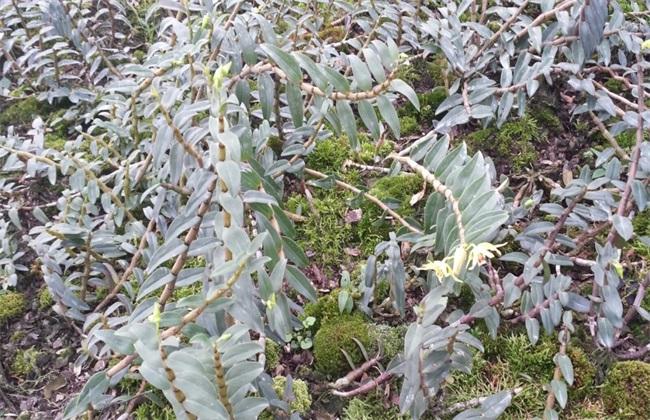 石斛种植条件