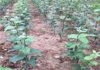 矮化苹果苗栽培管理