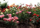 月季花的养殖方法介绍