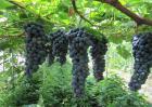 夏黑葡萄的种植技术