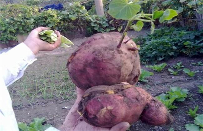 红薯裂皮原因及防治方法