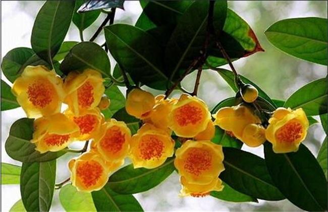 金花茶的种植方法