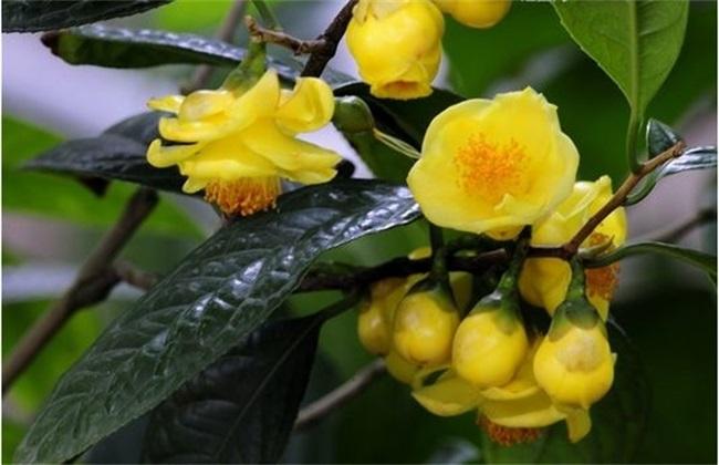 金花茶种植技术图片