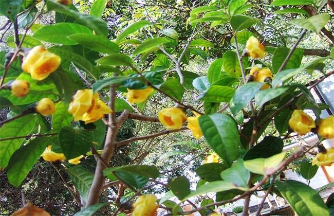 金花茶种植技术视频图片