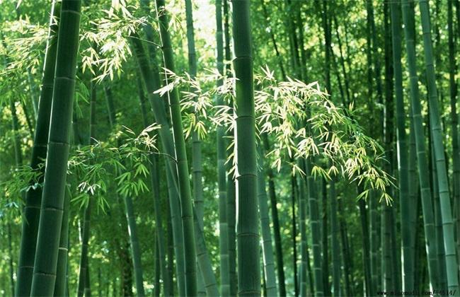 毛竹的种植技术