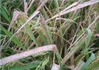 水稻药害症状及防治方法
