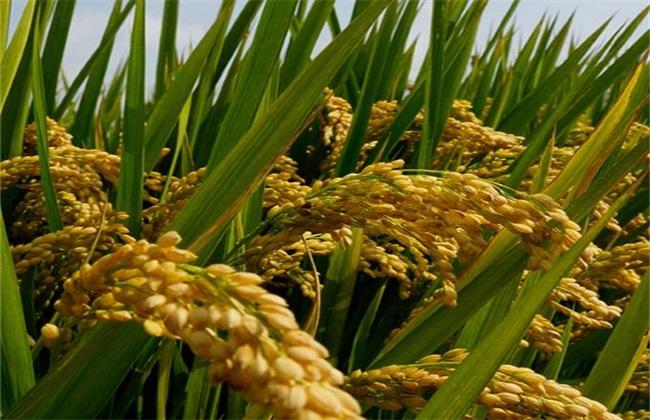 杂交水稻高产栽培技术