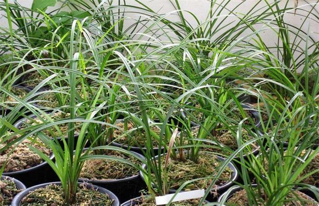 兰草 养殖方法 注意事项
