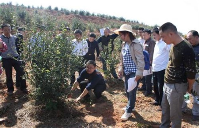 油茶的种植技术