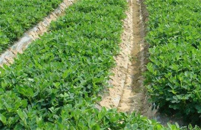 花生的种植技术