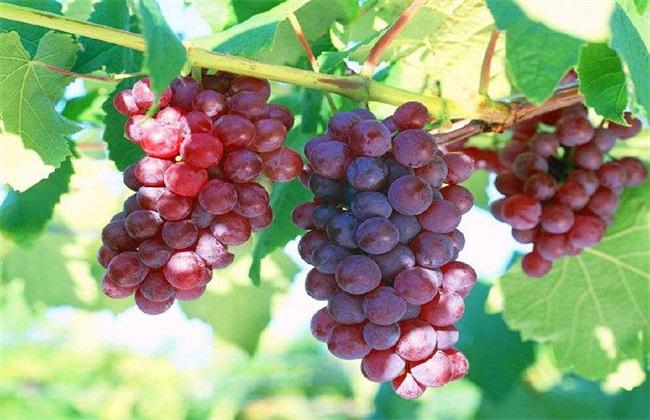 葡萄 种植 技术