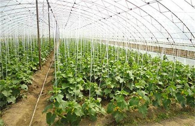 黄瓜种植技术