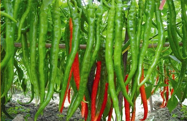 辣椒 种植 技术