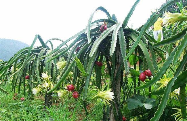 火龙果种植技术
