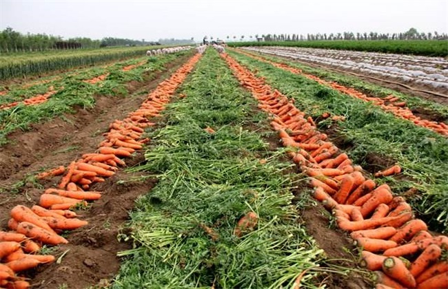 胡萝卜的种植技术