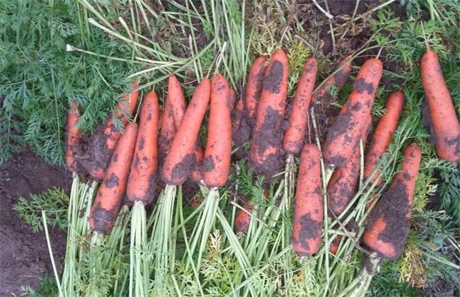 蔬菜种植胡萝卜的种植技术