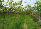 葡萄种植技术