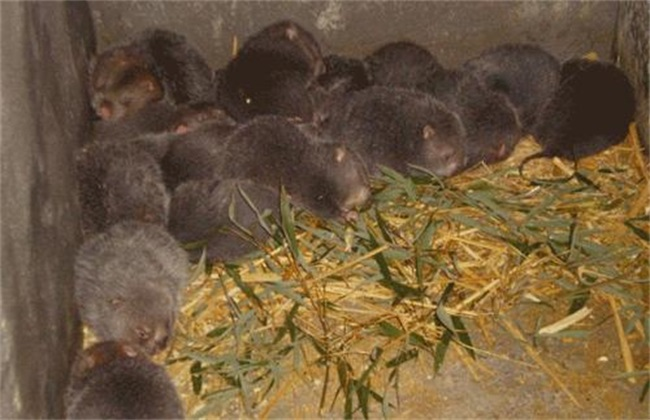 竹鼠的养殖技术