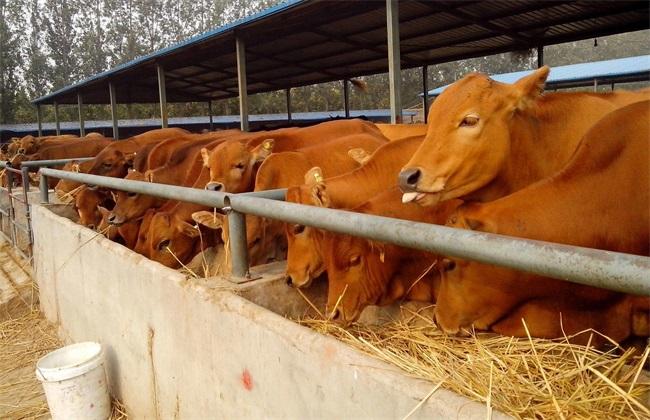 肉牛 养殖 技术