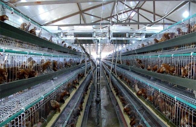 蛋鸡的养殖技术