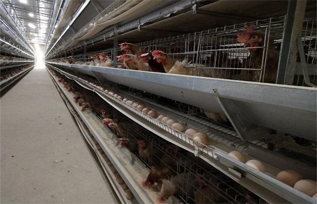 蛋鸡 养殖 技术