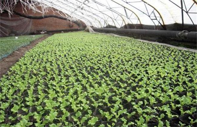 春菜的种植时间和方法