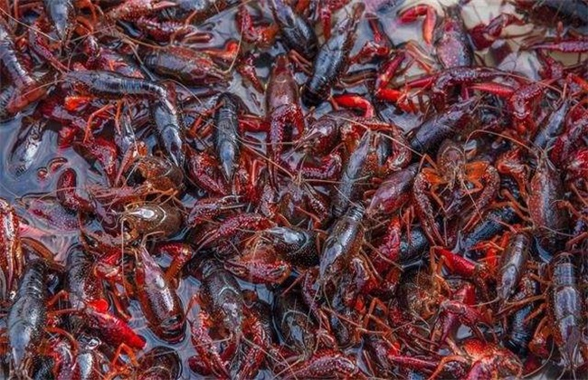 小龙虾养殖技术