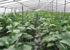 大棚茄子种植管理技术