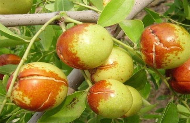 枣树裂果原因及防治措施