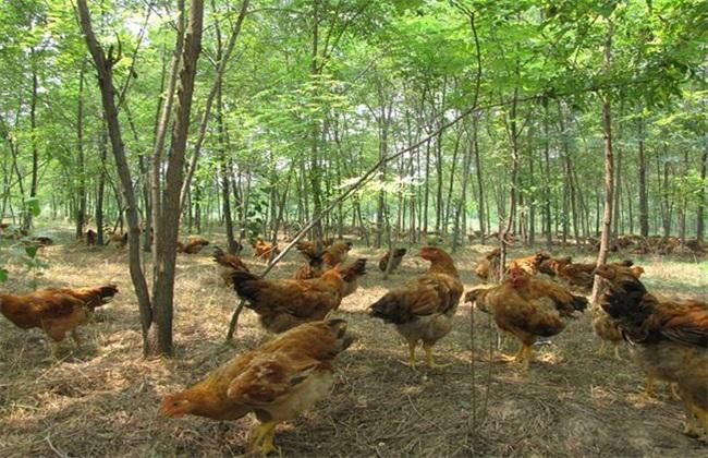 林下养鸡 饲养管理 技术