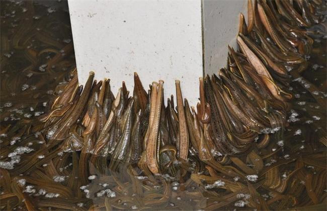 水蛭 养殖 技术
