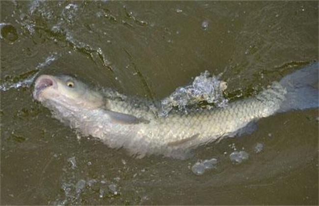 草鱼 养殖 技术