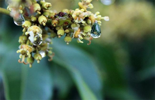 荔枝沤花原因及防治措施