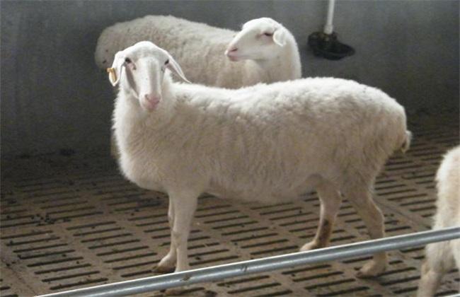 湖羊 养殖 技术