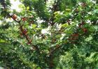 樱桃树修剪方法