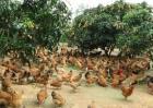 林下养鸡饲养管理技术