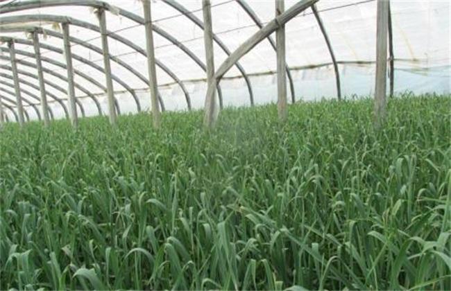 大棚蒜苗 种植 注意事项