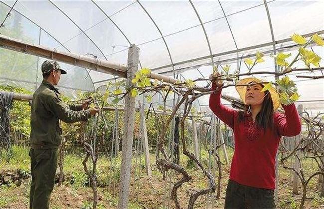 葡萄抹芽技术
