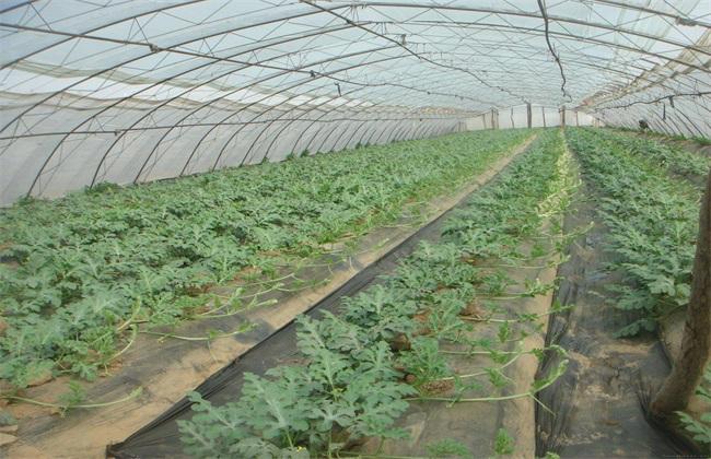 大棚西瓜 种植 技术
