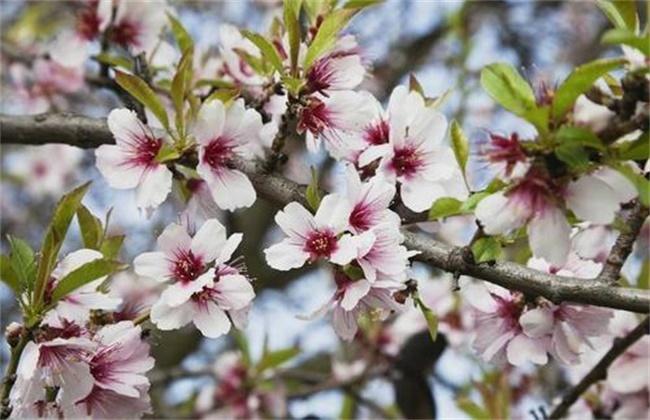 杏树花果期管理要点