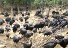 火鸡养殖技术