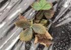 草莓青枯死苗的预防措施
