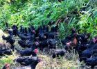 林下养鸡常见问题