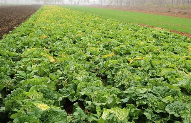 白菜 种植 技术