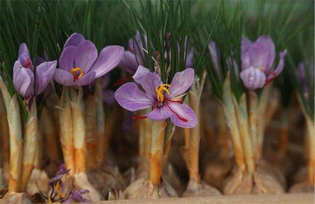 藏红花种植的注意事项