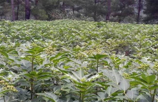 吴茱萸常见的病虫害防治
