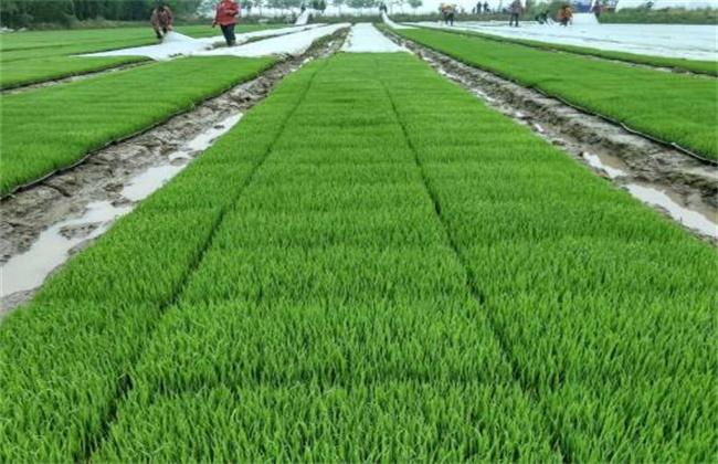 水稻育苗遇倒春寒怎么办