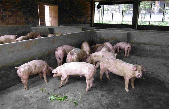 春季 如何让猪 快速长膘